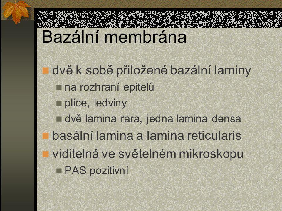 Bazální membrána dvě k sobě přiložené bazální laminy