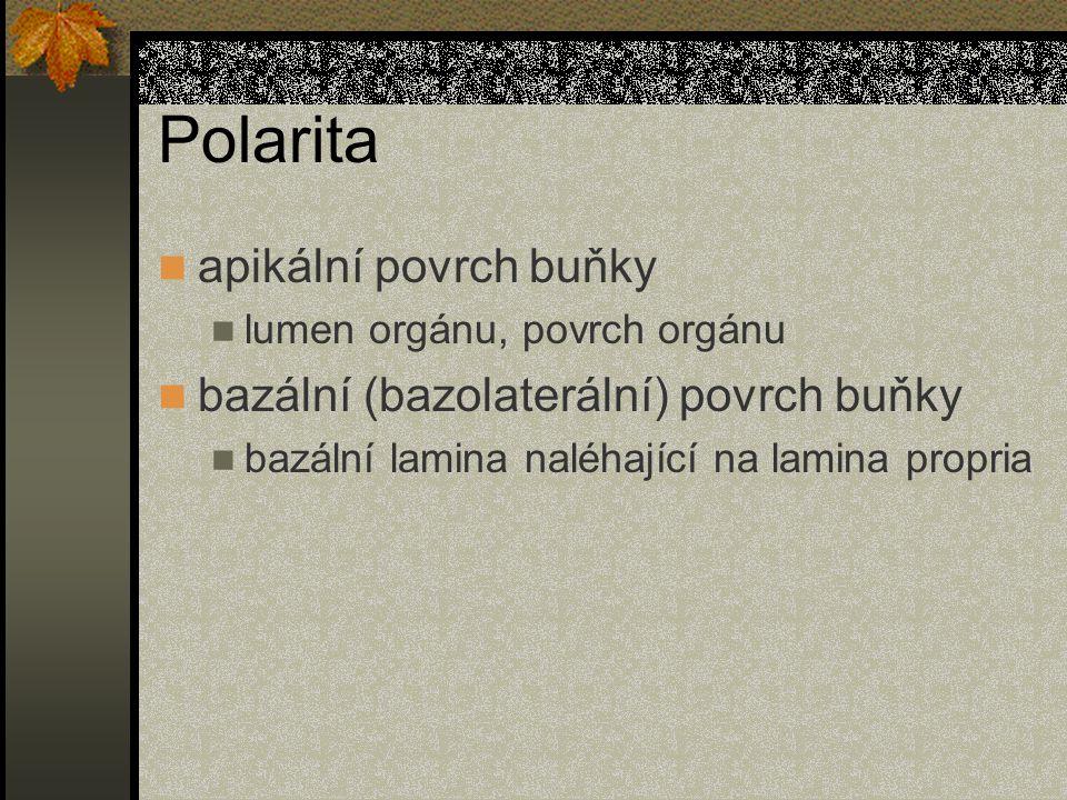Polarita apikální povrch buňky bazální (bazolaterální) povrch buňky