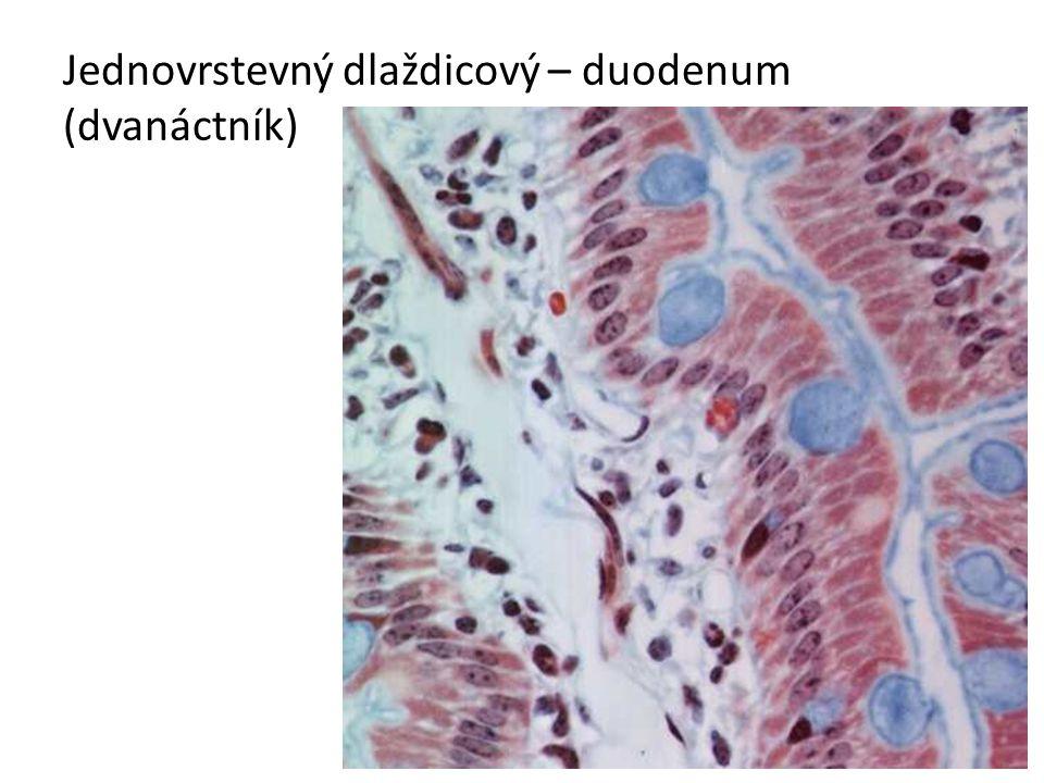 Jednovrstevný dlaždicový – duodenum (dvanáctník)