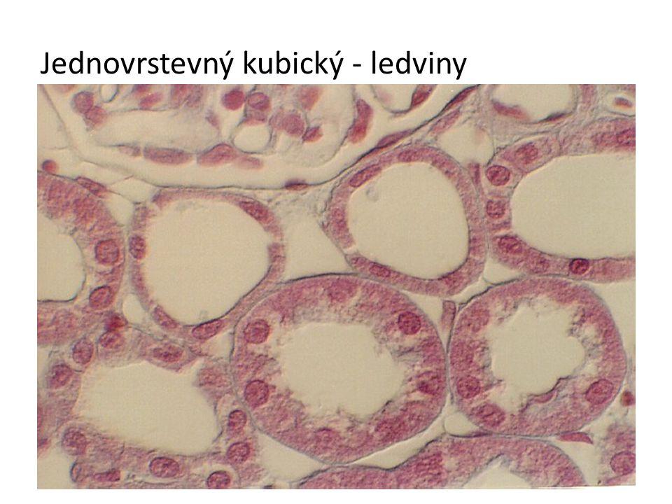 Jednovrstevný kubický - ledviny