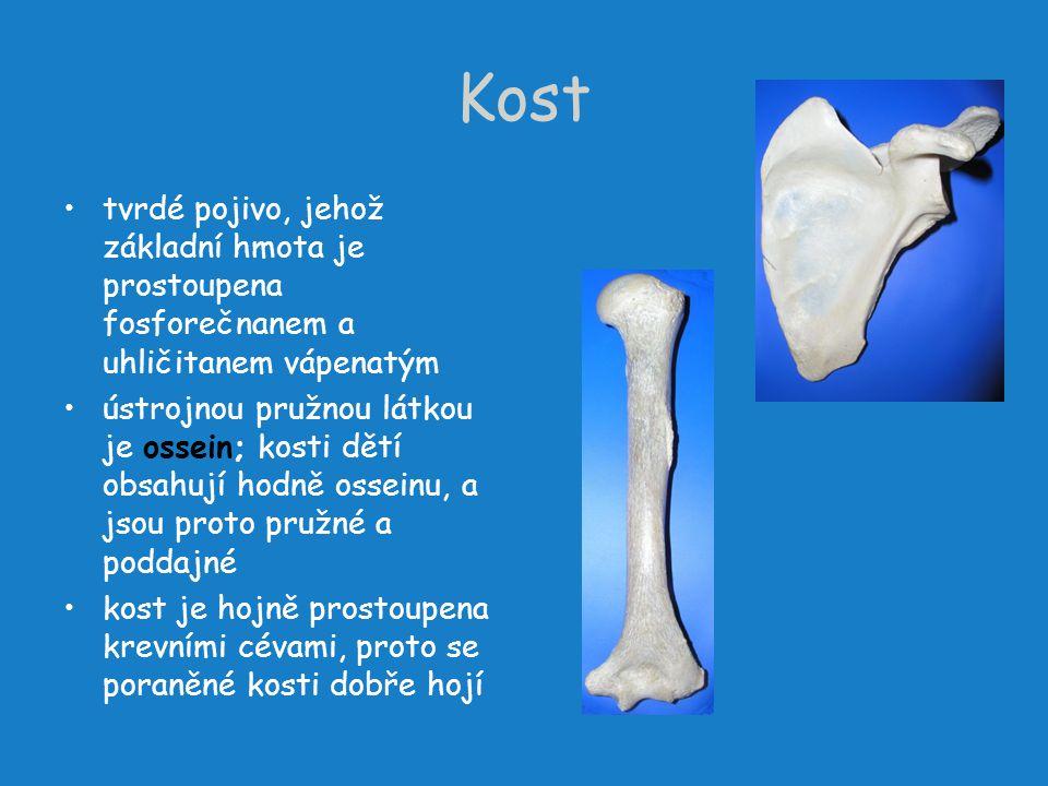 Kost tvrdé pojivo, jehož základní hmota je prostoupena fosforečnanem a uhličitanem vápenatým.