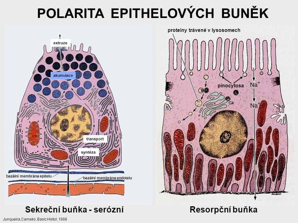 POLARITA EPITHELOVÝCH BUNĚK