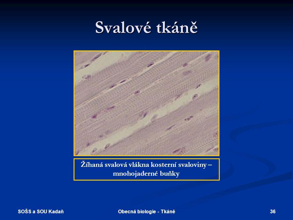Svalové tkáně Žíhaná svalová vlákna kosterní svaloviny – mnohojaderné buňky.