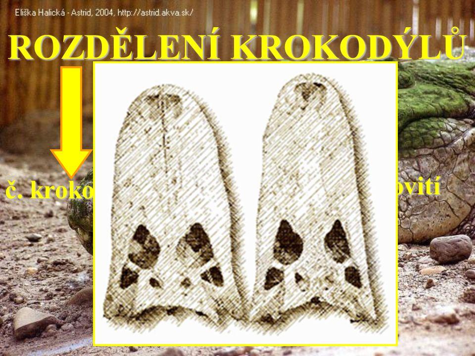 ROZDĚLENÍ KROKODÝLŮ č. gaviálovití č. krokodýlovití č. aligátorovití