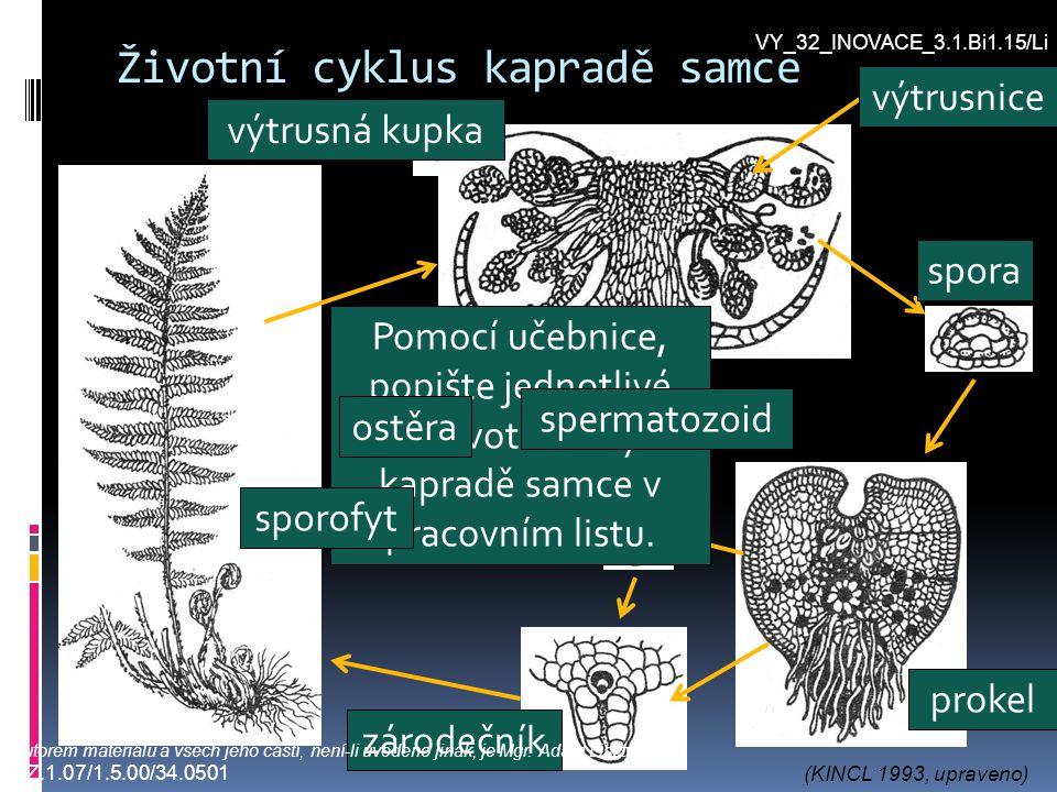 Životní cyklus kapradě samce