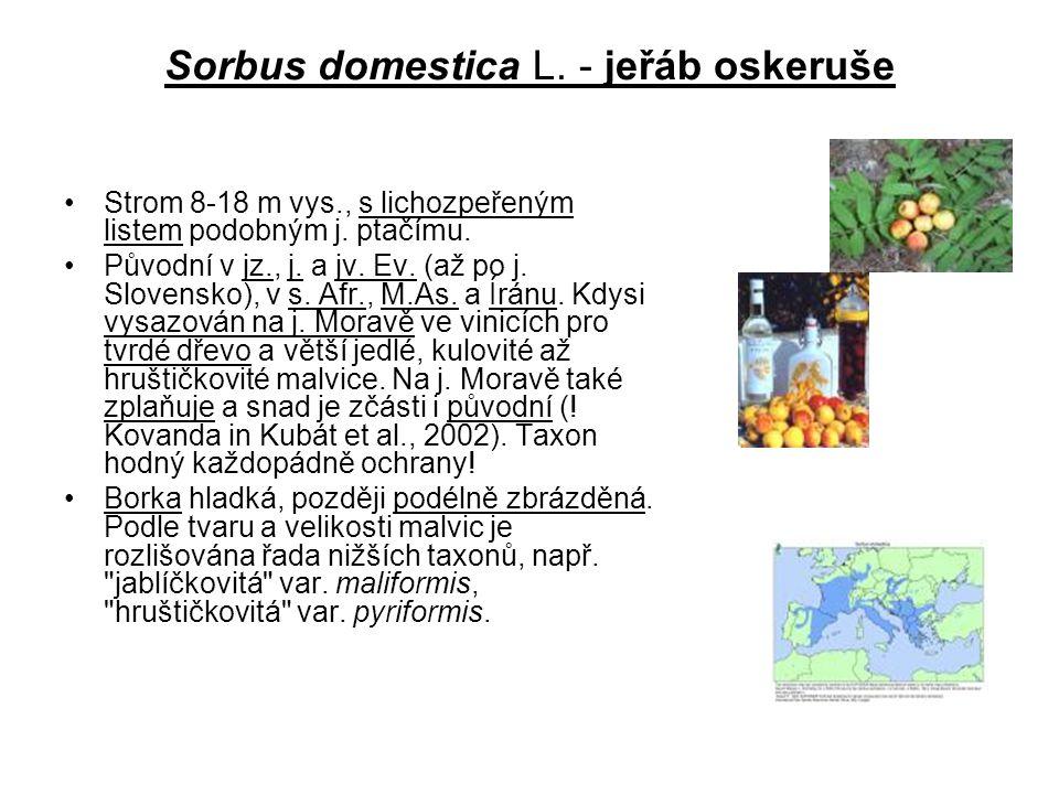 Sorbus domestica L. - jeřáb oskeruše