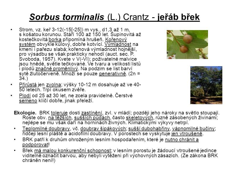 Sorbus torminalis (L.) Crantz - jeřáb břek