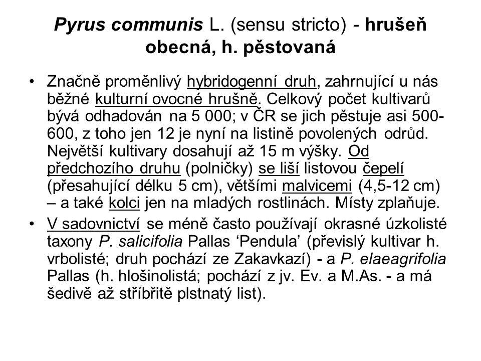 Pyrus communis L. (sensu stricto) - hrušeň obecná, h. pěstovaná