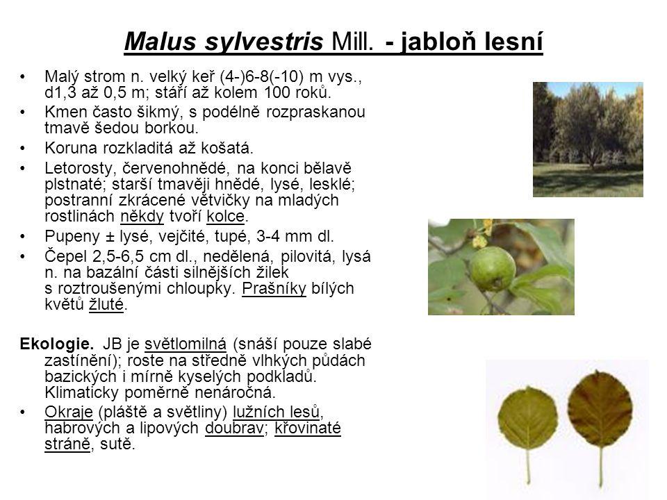 Malus sylvestris Mill. - jabloň lesní