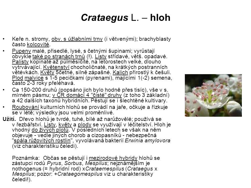 Crataegus L. – hloh Keře n. stromy, obv. s úžlabními trny (i větvenými); brachyblasty často kolcovité.