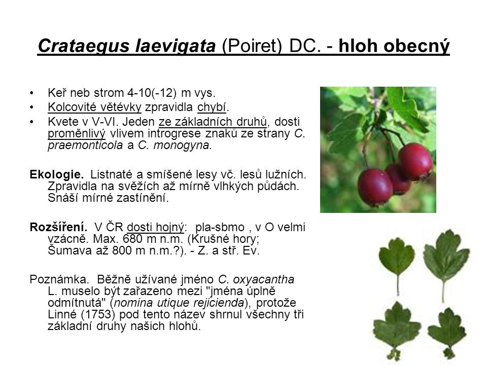 Crataegus laevigata (Poiret) DC. - hloh obecný