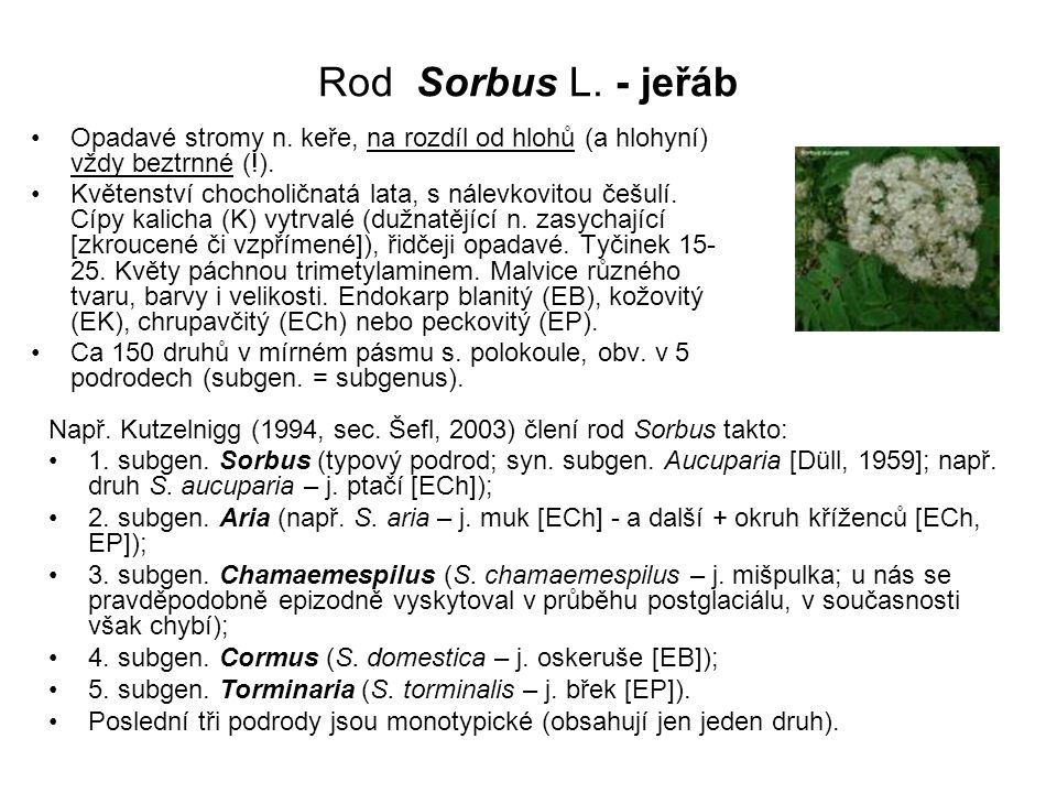 Rod Sorbus L. - jeřáb Opadavé stromy n. keře, na rozdíl od hlohů (a hlohyní) vždy beztrnné (!).
