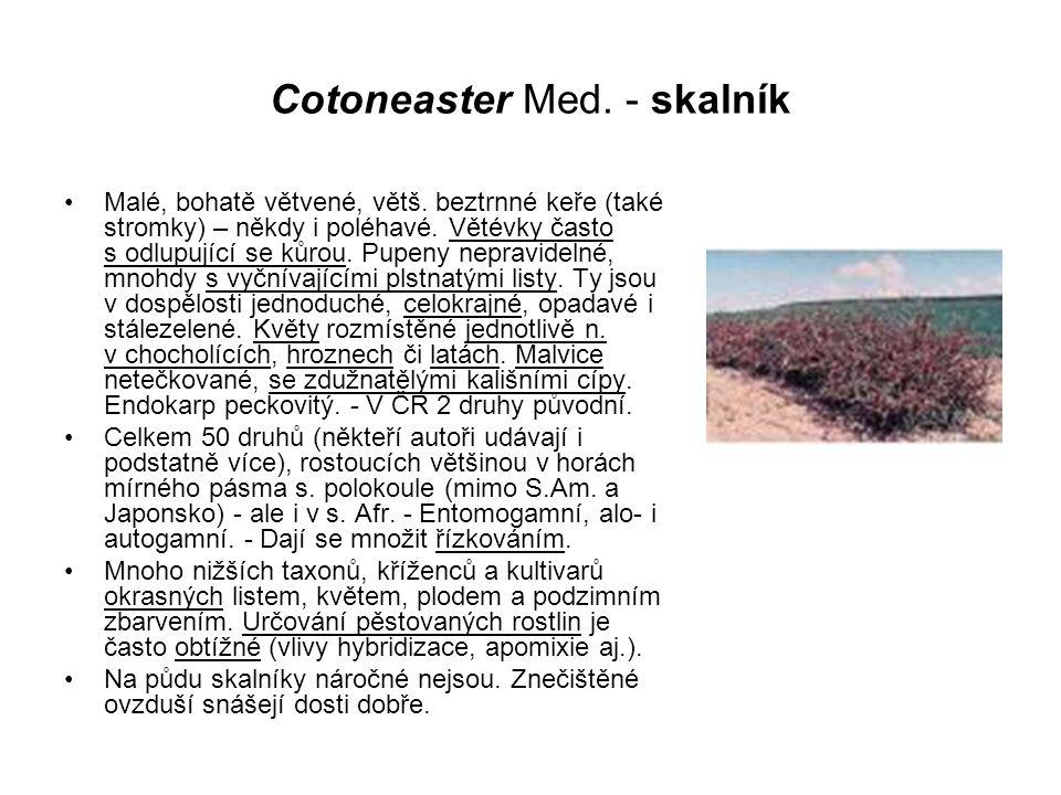 Cotoneaster Med. - skalník