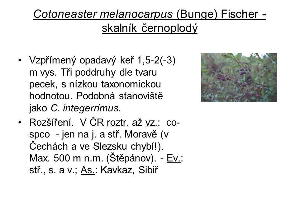 Cotoneaster melanocarpus (Bunge) Fischer - skalník černoplodý