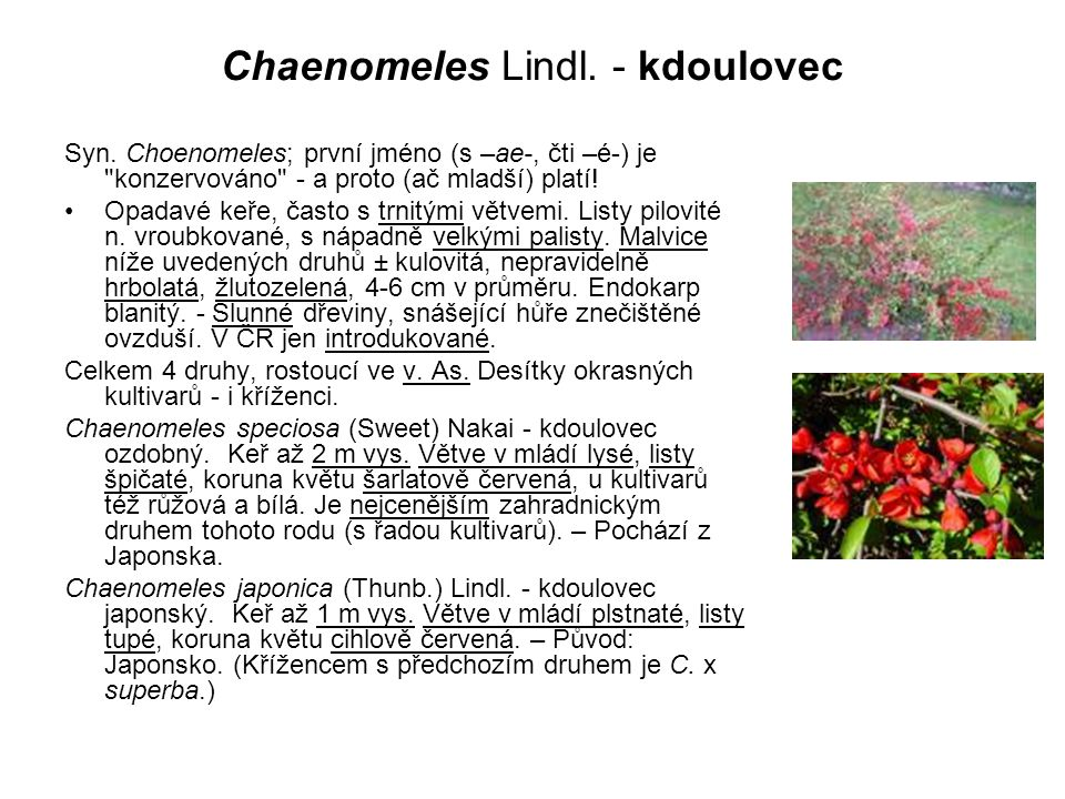 Chaenomeles Lindl. - kdoulovec