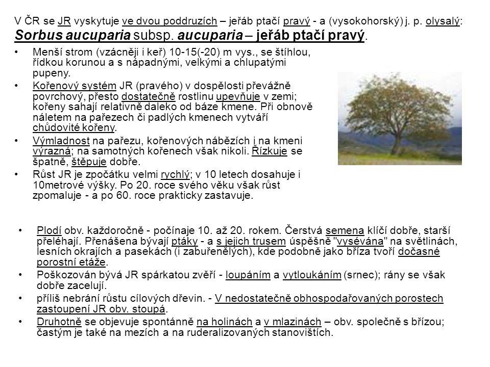 Sorbus aucuparia subsp. aucuparia – jeřáb ptačí pravý.