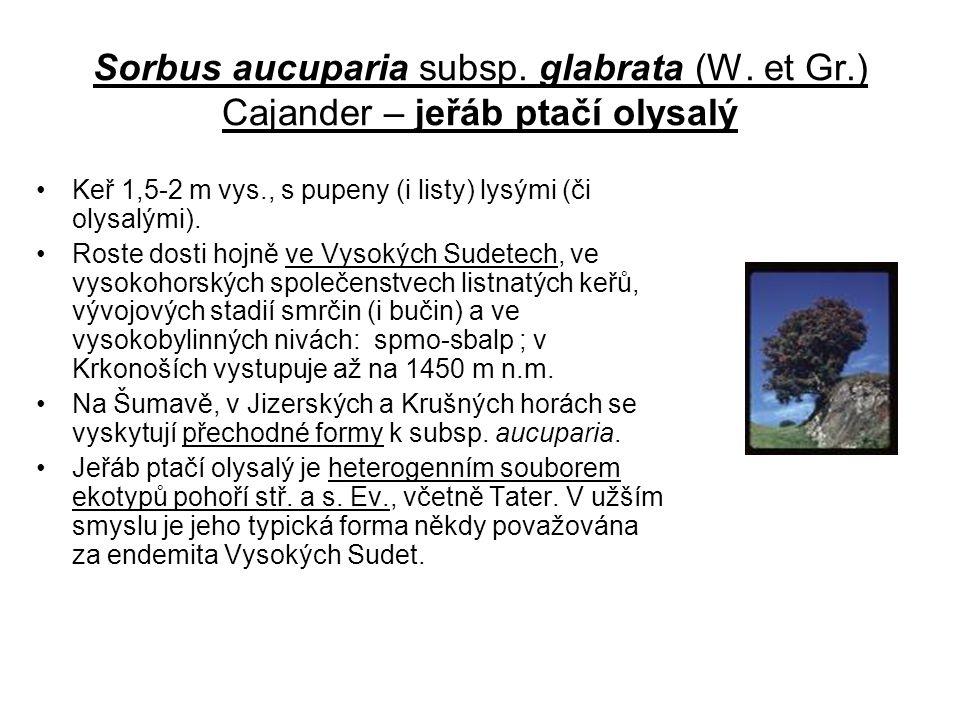 Sorbus aucuparia subsp. glabrata (W. et Gr