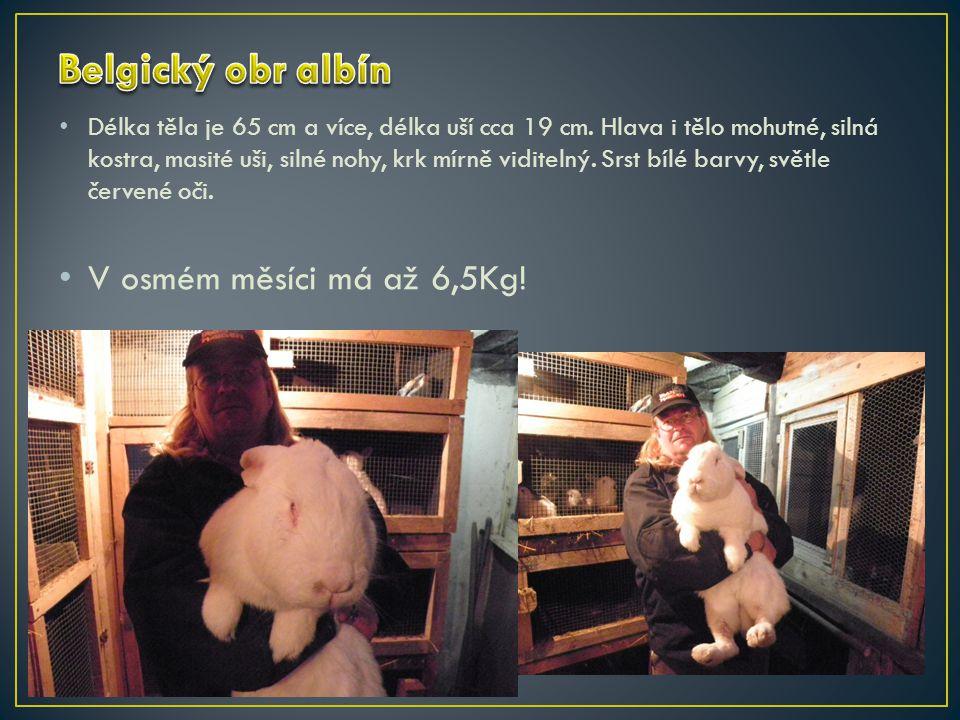 Belgický obr albín V osmém měsíci má až 6,5Kg!