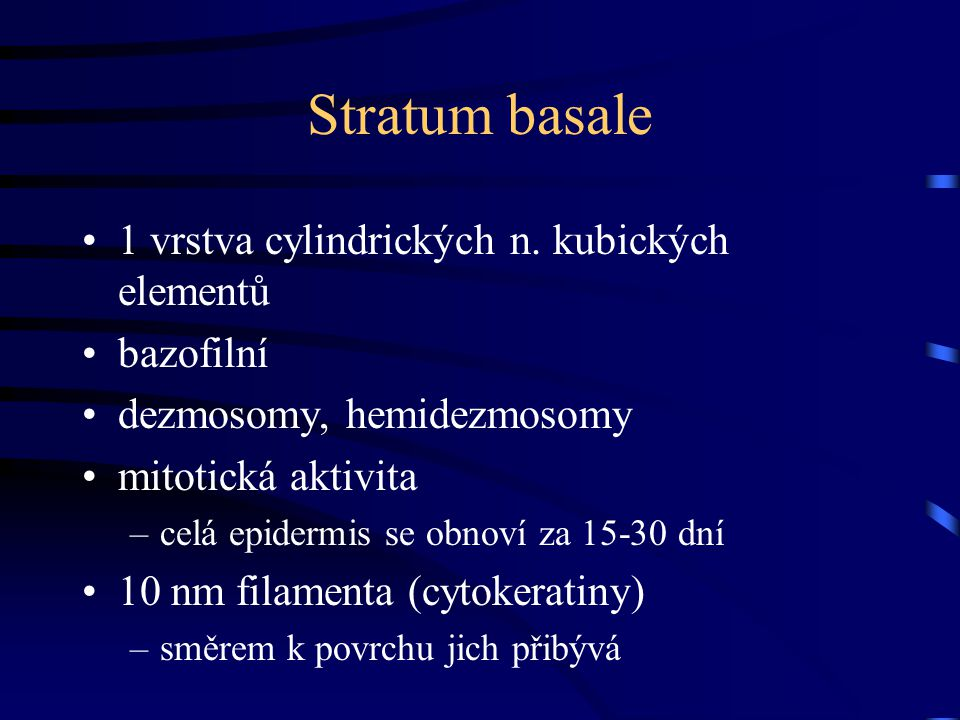 Stratum basale 1 vrstva cylindrických n. kubických elementů bazofilní