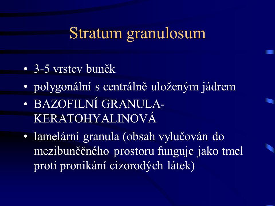 Stratum granulosum 3-5 vrstev buněk