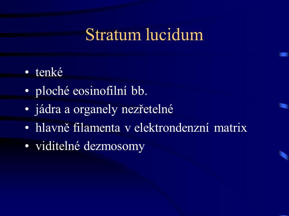 Stratum lucidum tenké ploché eosinofilní bb.