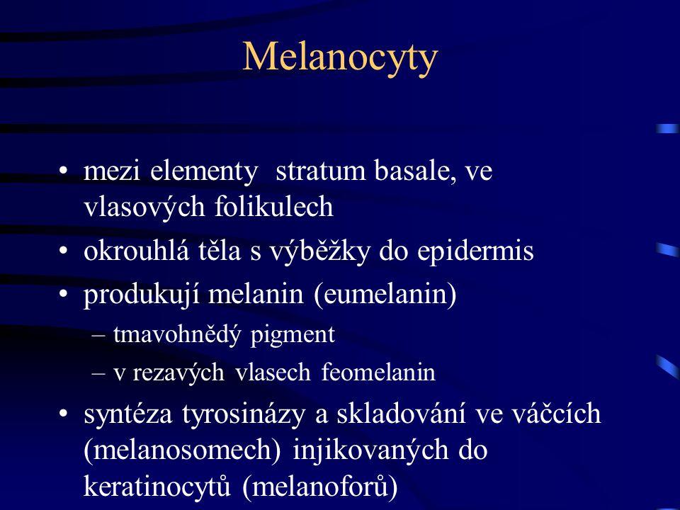 Melanocyty mezi elementy stratum basale, ve vlasových folikulech