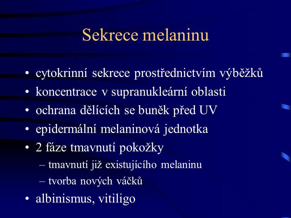 Sekrece melaninu cytokrinní sekrece prostřednictvím výběžků