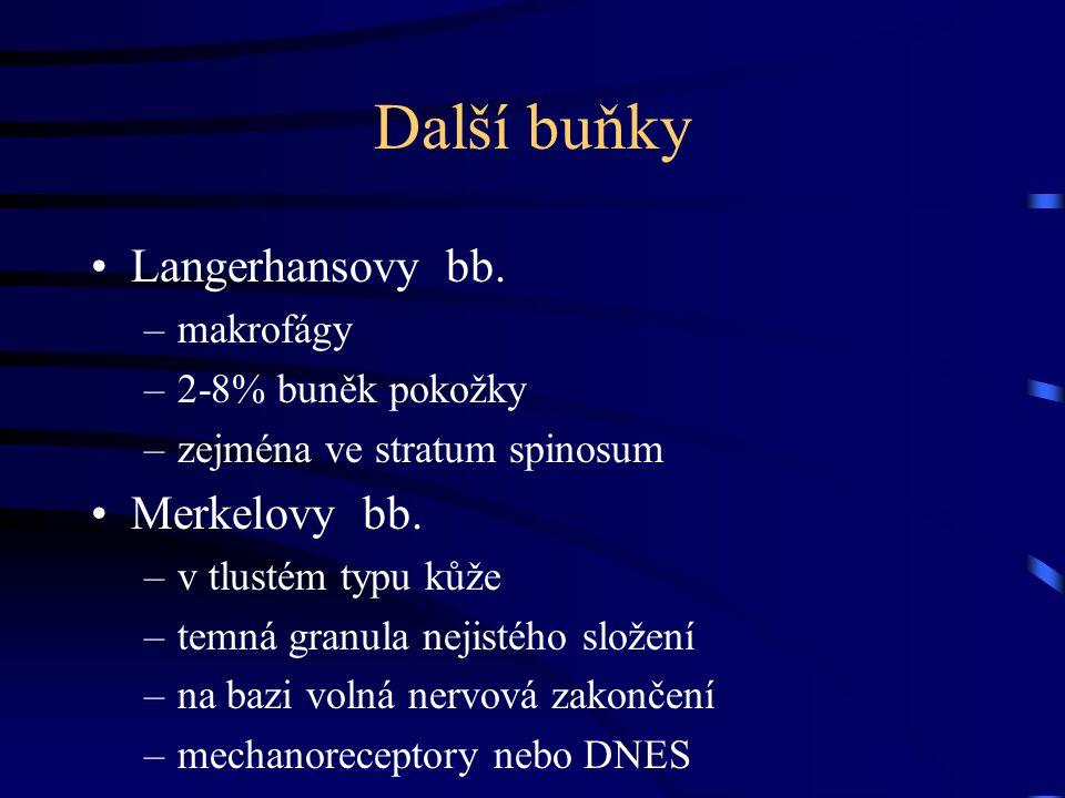 Další buňky Langerhansovy bb. Merkelovy bb. makrofágy