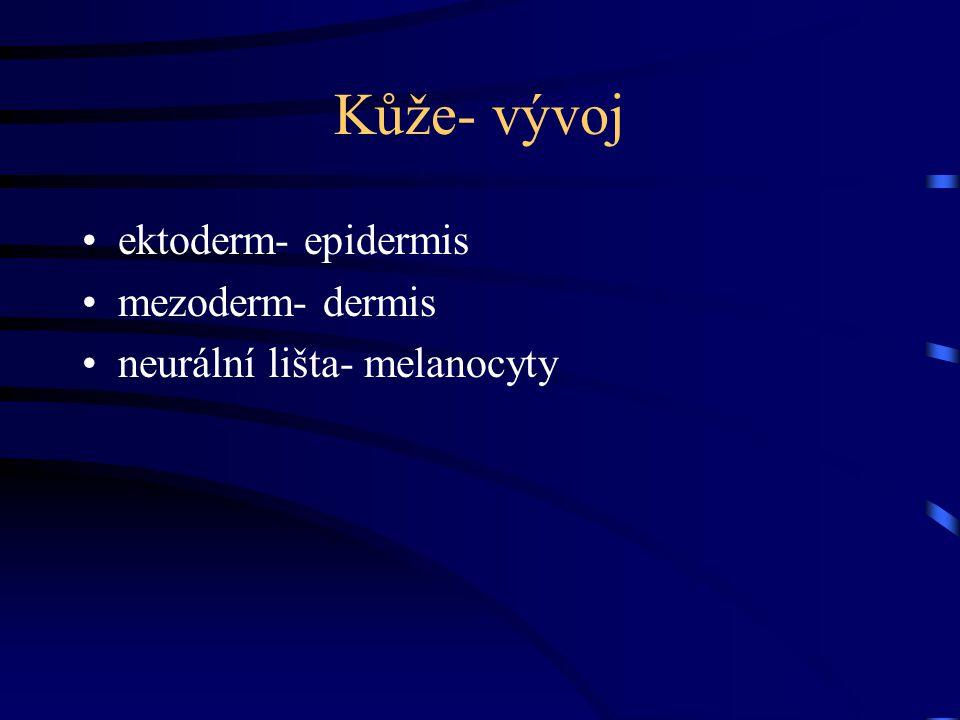 Kůže- vývoj ektoderm- epidermis mezoderm- dermis