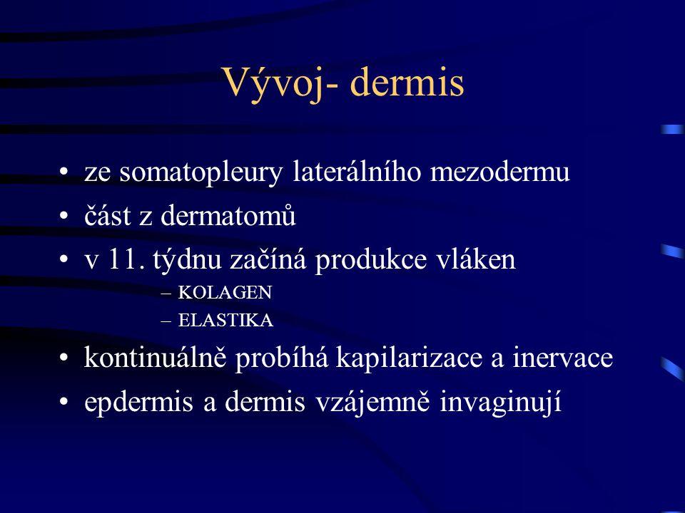Vývoj- dermis ze somatopleury laterálního mezodermu část z dermatomů