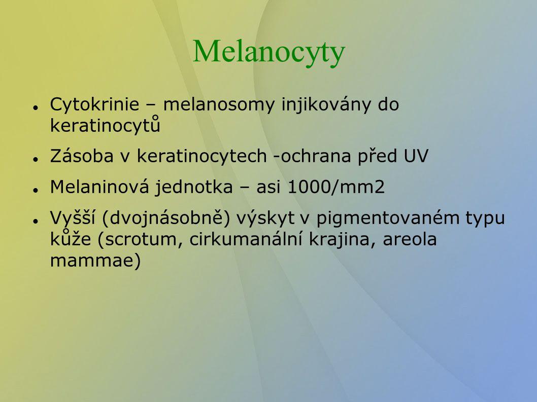 Melanocyty Cytokrinie – melanosomy injikovány do keratinocytů
