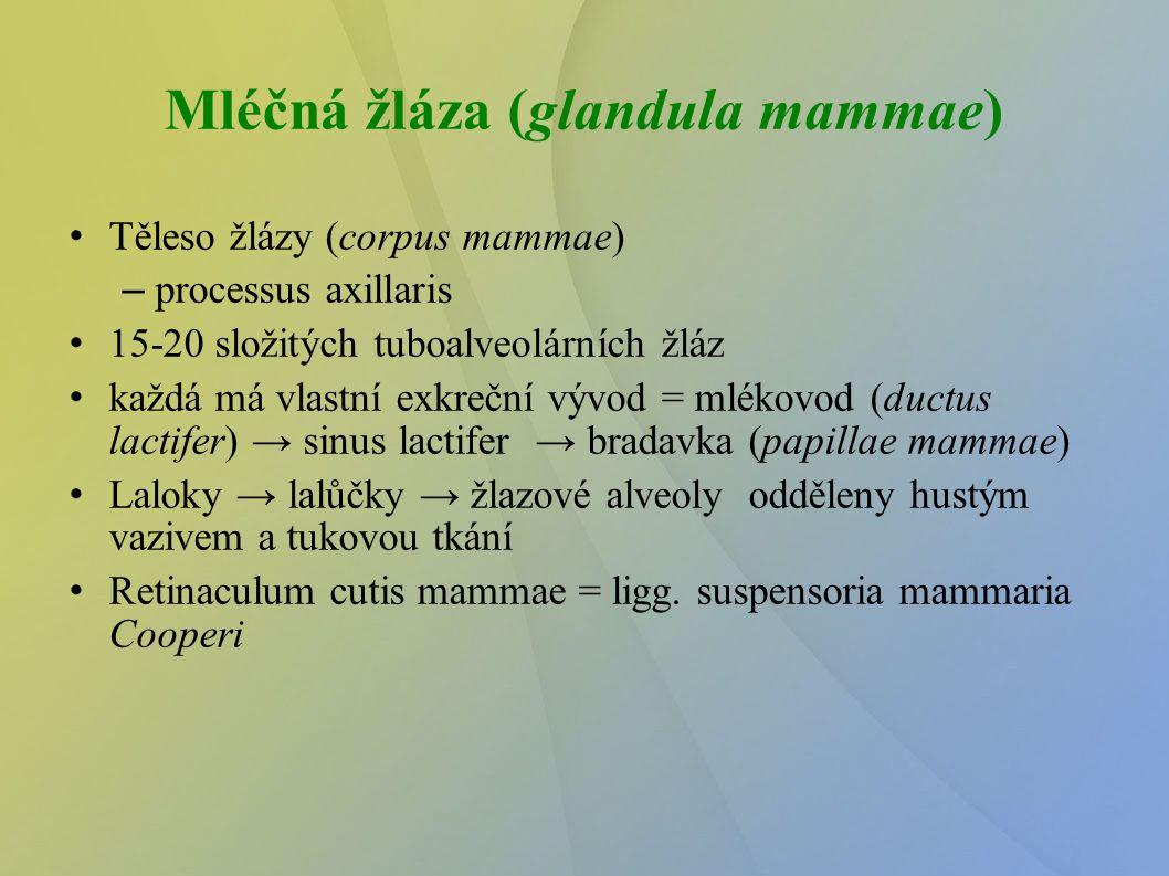 Mléčná žláza (glandula mammae)