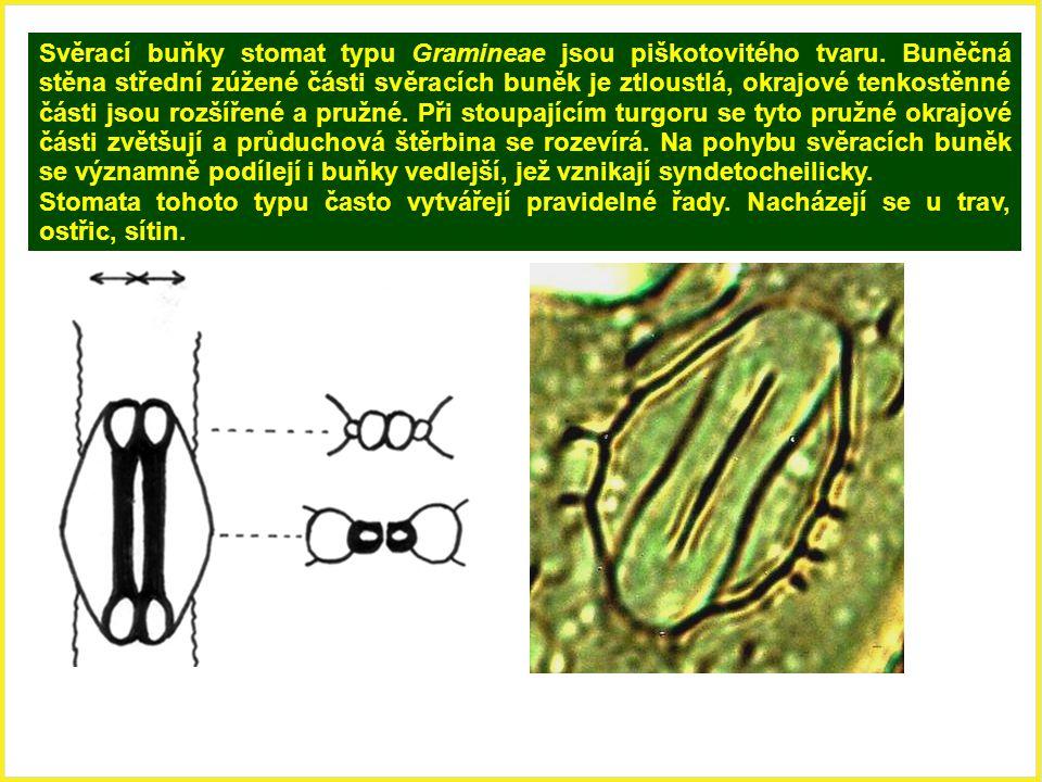 Svěrací buňky stomat typu Gramineae jsou piškotovitého tvaru