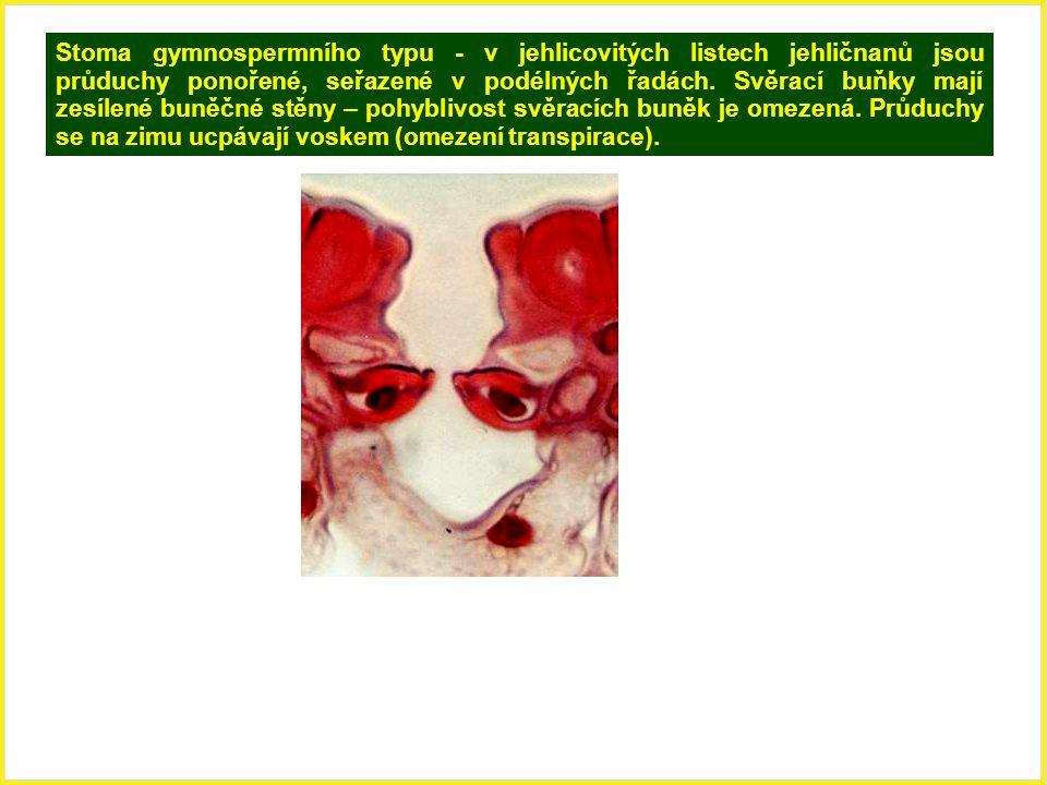 Stoma gymnospermního typu - v jehlicovitých listech jehličnanů jsou průduchy ponořené, seřazené v podélných řadách.