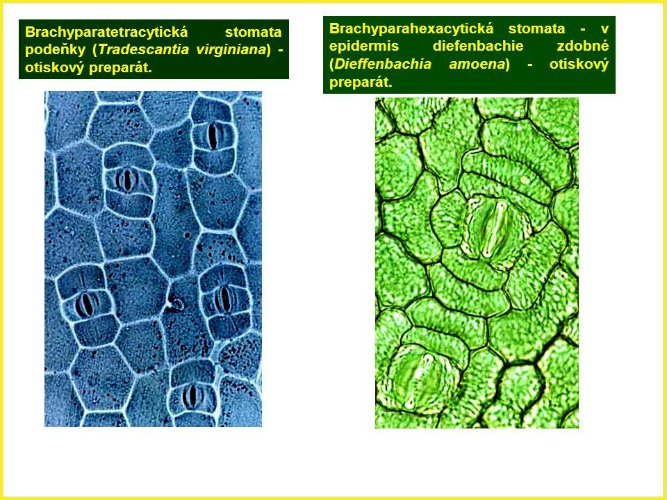 Brachyparatetracytická stomata podeňky (Tradescantia virginiana) - otiskový preparát.