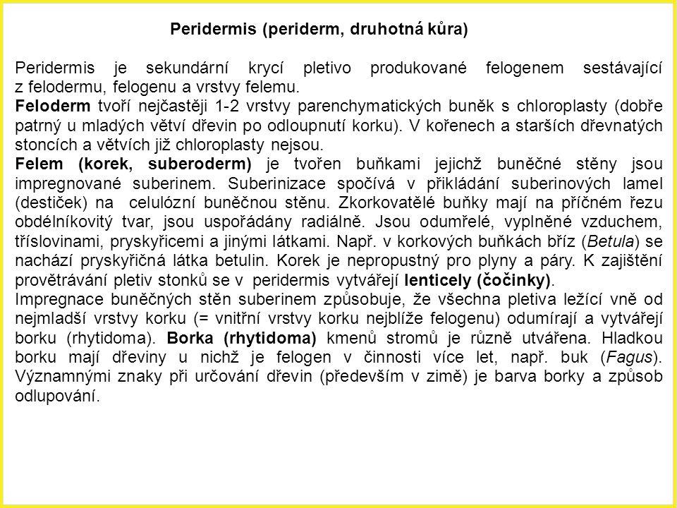 Peridermis (periderm, druhotná kůra)