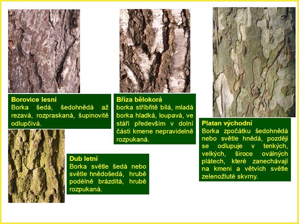 Borovice lesní Borka šedá, šedohnědá až rezavá, rozpraskaná, šupinovitě odlupčivá. Bříza bělokorá.