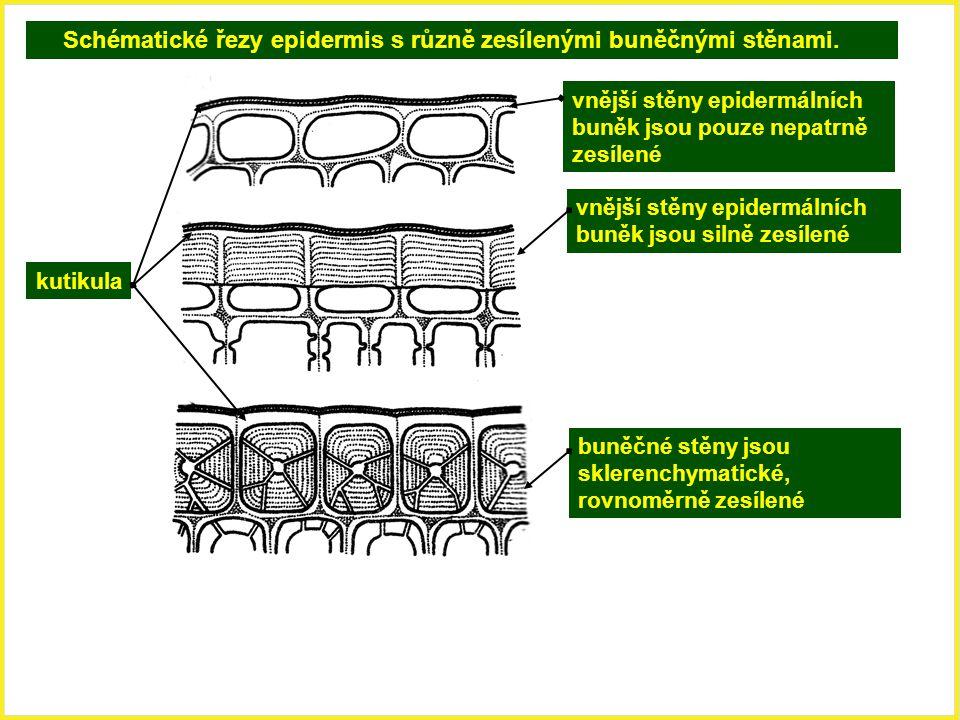 Schématické řezy epidermis s různě zesílenými buněčnými stěnami.