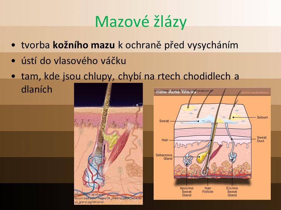 Mazové žlázy tvorba kožního mazu k ochraně před vysycháním