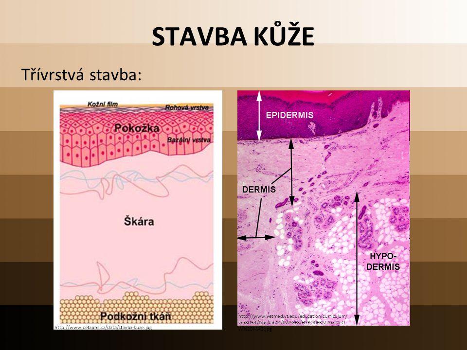 STAVBA KŮŽE Třívrstvá stavba: