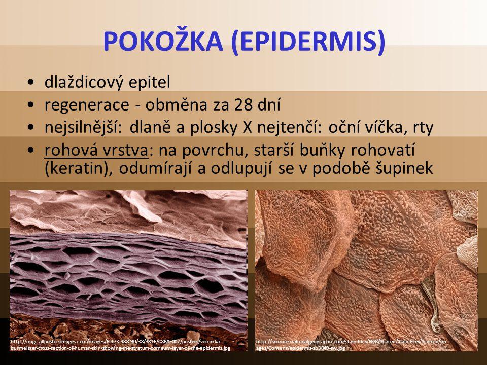 POKOŽKA (EPIDERMIS) dlaždicový epitel regenerace - obměna za 28 dní