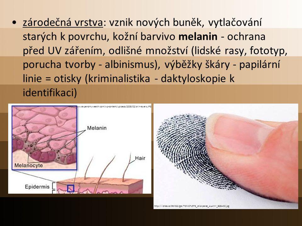 zárodečná vrstva: vznik nových buněk, vytlačování starých k povrchu, kožní barvivo melanin - ochrana před UV zářením, odlišné množství (lidské rasy, fototyp, porucha tvorby - albinismus), výběžky škáry - papilární linie = otisky (kriminalistika - daktyloskopie k identifikaci)