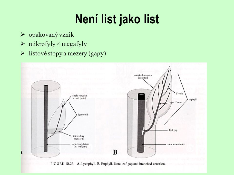 Není list jako list opakovaný vznik mikrofyly × megafyly