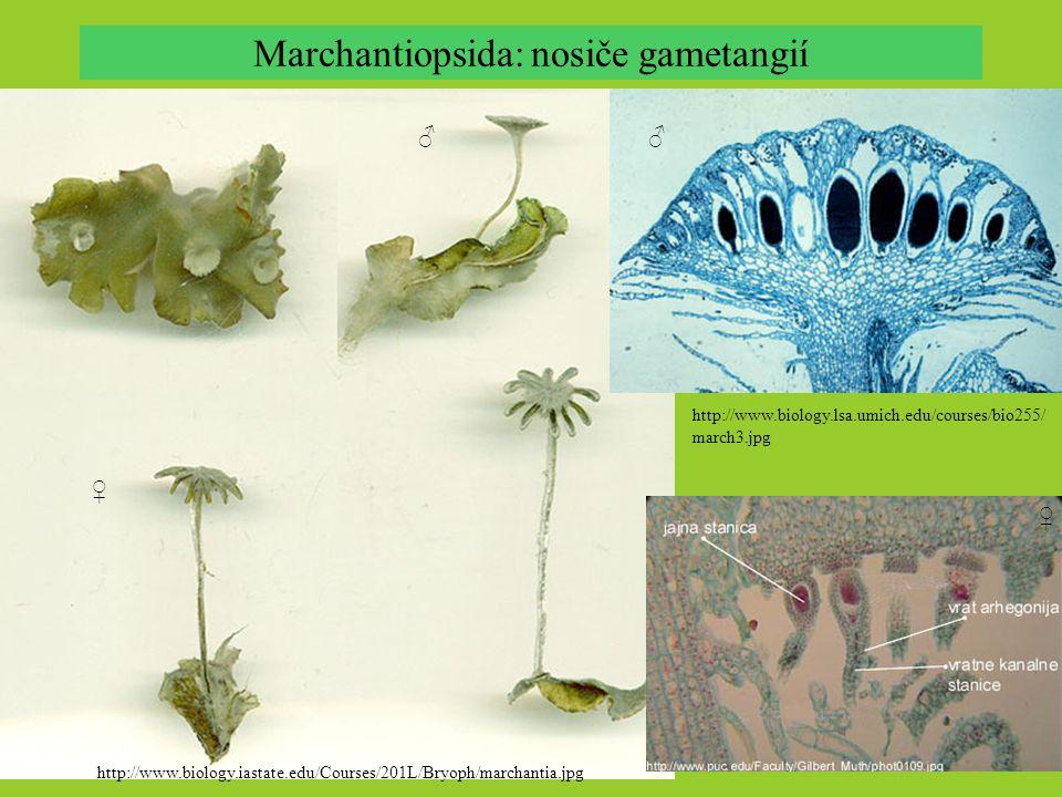 Marchantiopsida: nosiče gametangií