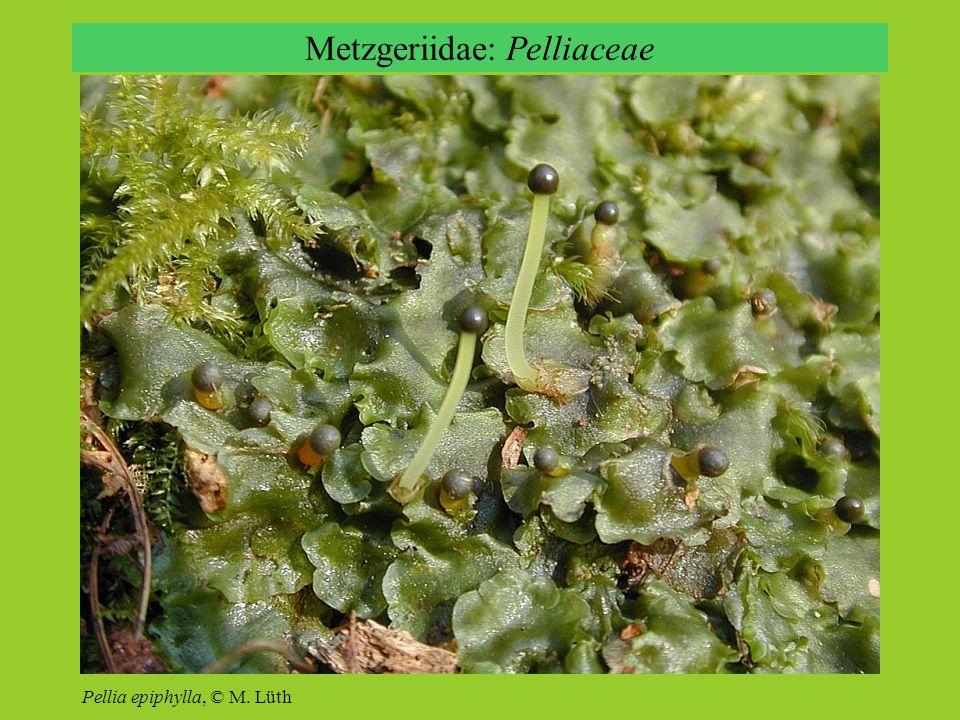 Metzgeriidae: Pelliaceae