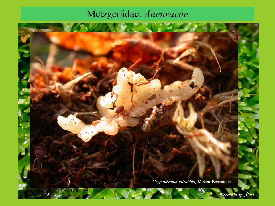 Metzgeriidae: Aneuracae