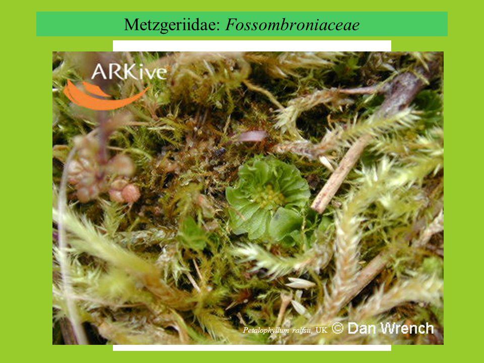 Metzgeriidae: Fossombroniaceae