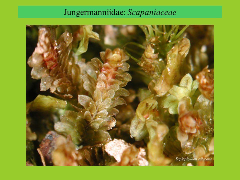 Jungermanniidae: Scapaniaceae