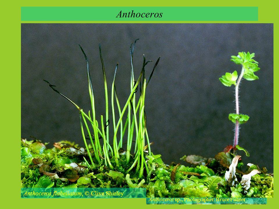 Anthoceros Anthoceros flabellatum, © Clive Shirley
