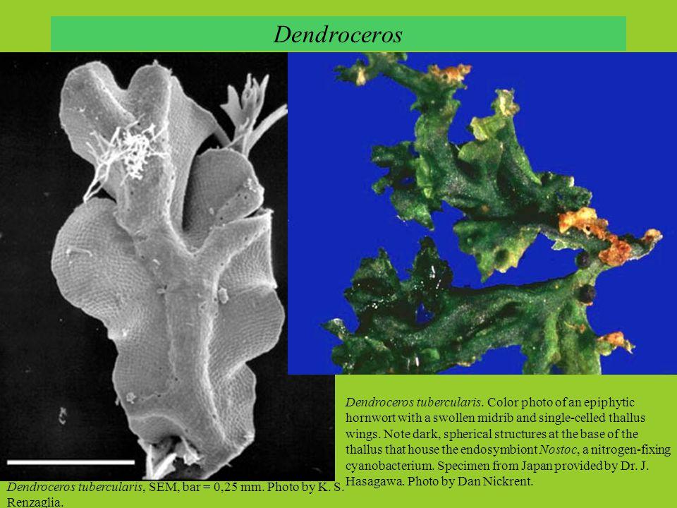Dendroceros